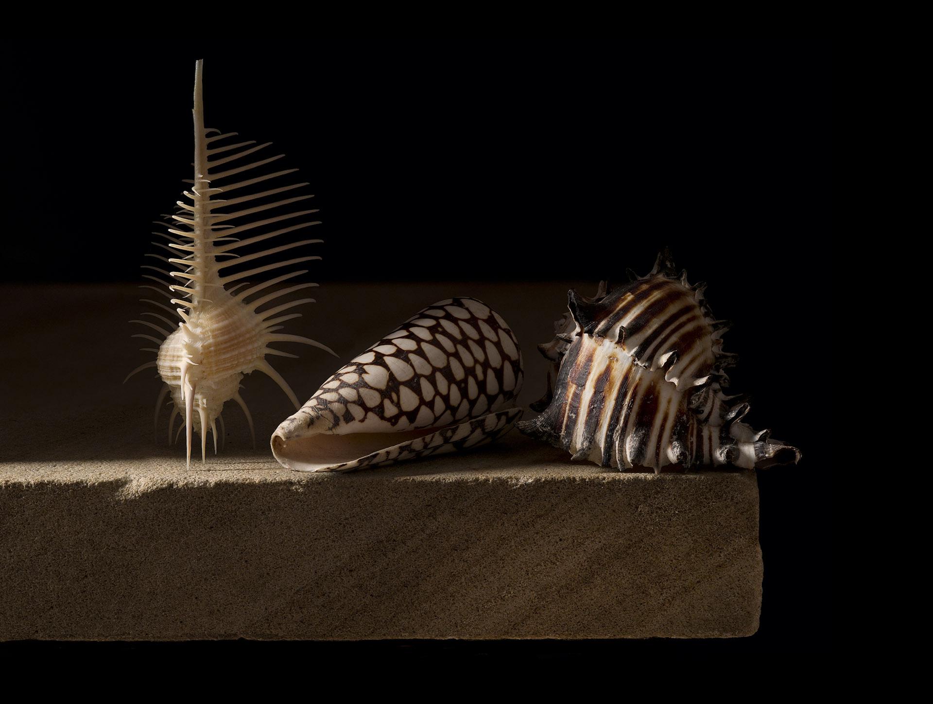 Still life with three shells